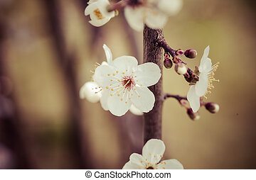 Vintage flowers of the cherry blossoms on a spring day