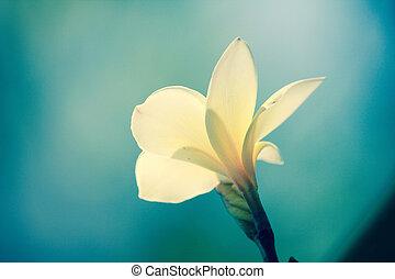 Vintage frangipani flowers