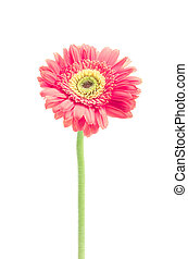 vintage gerbera flowers isolated on white background