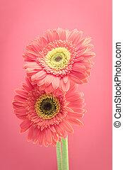 vintage gerbera flowers on pink background