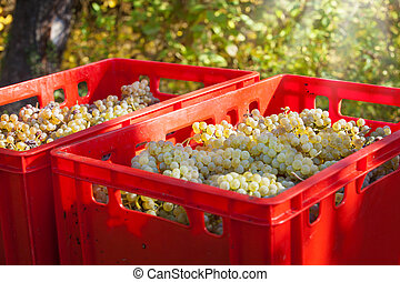 Vintage, grape harvest