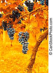 vintage image of grape