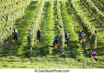 vintage in the vineyard of a winemaker. vineyard in autumn. ripe grapes are harvested.