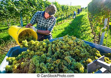 vintage in the vineyards
