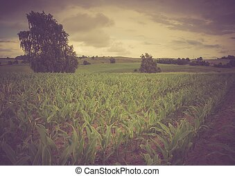 Vintage photo of corn field landscape