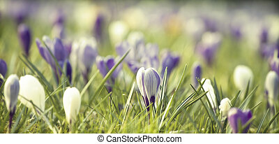 Vintage photo of spring field with colorful crocus flowers -...