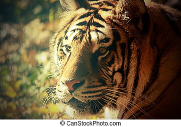 vintage portrait of a tiger