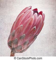 Vintage protea - Head of a protea flower, vintage effect.