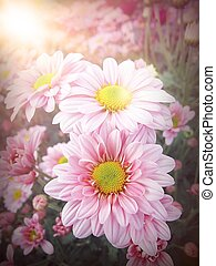 Pink Chrysanthemum Flowers close up, beautiful pink flowers in the garden