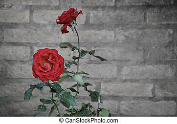 Vintage Rose flower against a brick wall with text space