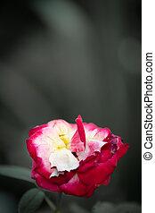 Vintage rose on gray background