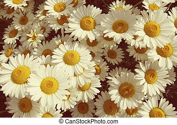 Vintage summer daisies in a field