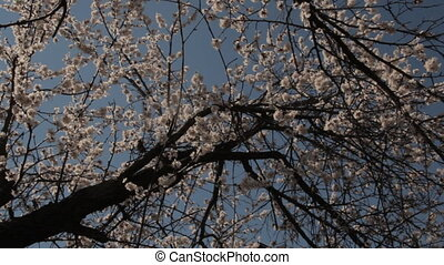 Vintage view of apricot tree flowers with birds