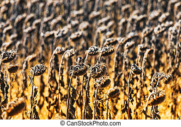 Vintage withered sunflowers