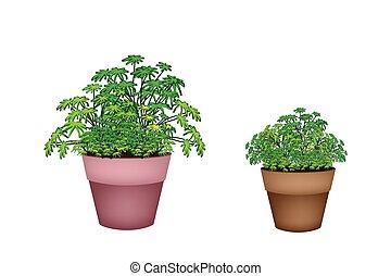 vintergrön, växt, terrakotta kruka, två