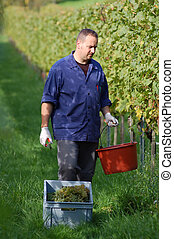 Vintner in the vineyard