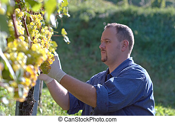 Vintner in the vineyard