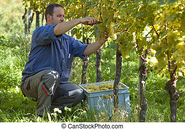 Vintner in the wineyard