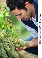 Vintner looking bunch of grapes