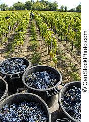 vinyard, france, récolte, raisins, vin bordeaux