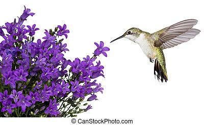 viola, bellfower, sopra, colibrì, posizionato