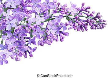 viola, lilla