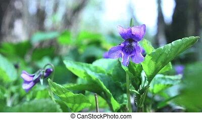 Viola odorata flower background