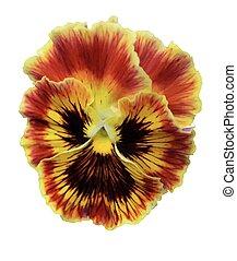 Viola  pansy flower