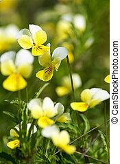 Viola tricolor. Viola arvensis. Flower of a wild field...
