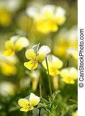 Viola tricolor. Viola arvensis. Flowers pansies on the...