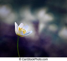 viola, windflower