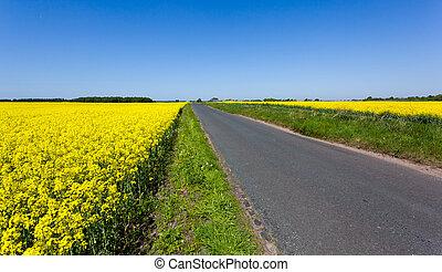 violación oilseed, flores