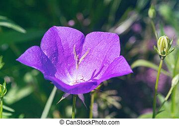 Violet bellflower on blurred background in the forest