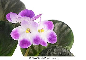 violet bloem, vrijstaand, op wit, achtergrond