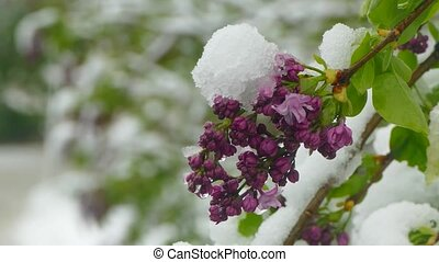 Violet blossoms are covered with snow - Purple flowering...