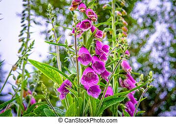 Campanula flower in the garden