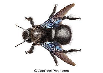 violet carpenter bee species xylocopa violacea in high...