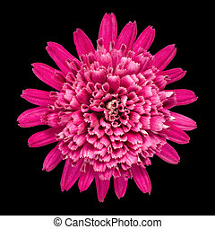Violet Chrysanthemum Flower Isolated on Black