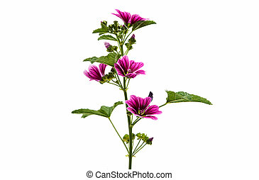 "Violet ""Common Mallow"" flower (Malva Sylvestris) isolated on..."