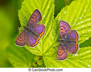 Violet copper in germany