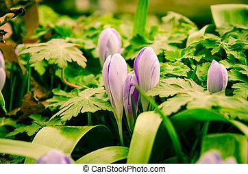 violet crocus flower