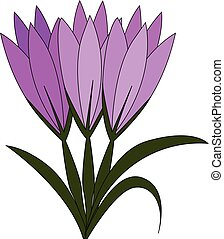 Violet crocus flowers with green leaves vector illustration on white background