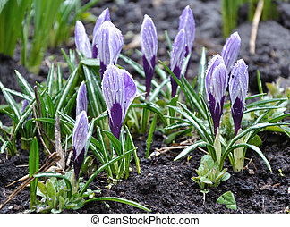 Violet crocus flowers with water drops in the soil