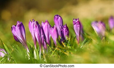 Violet crocuses on the green grass
