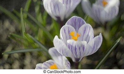 Violet Crocuses In Spring Day