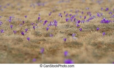 Violet crocuses waving in wind. Blooming spring purple flowers on meadow of high mountain. Vernus, saffron, Iridaceae family. High quality 4k footage