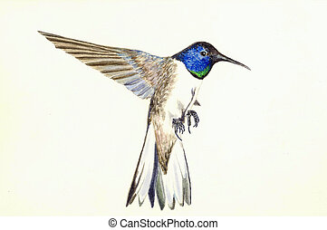 Violet crowned Hummingbird - Watercolor Painting of a Violet...