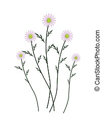 Violet Daisy Blossoms on A White Background