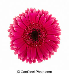 Violet daisy flower isolated on white background