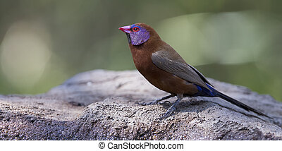 Violet Eared Waxbill male drinks water from a waterhole in Kalahari desert